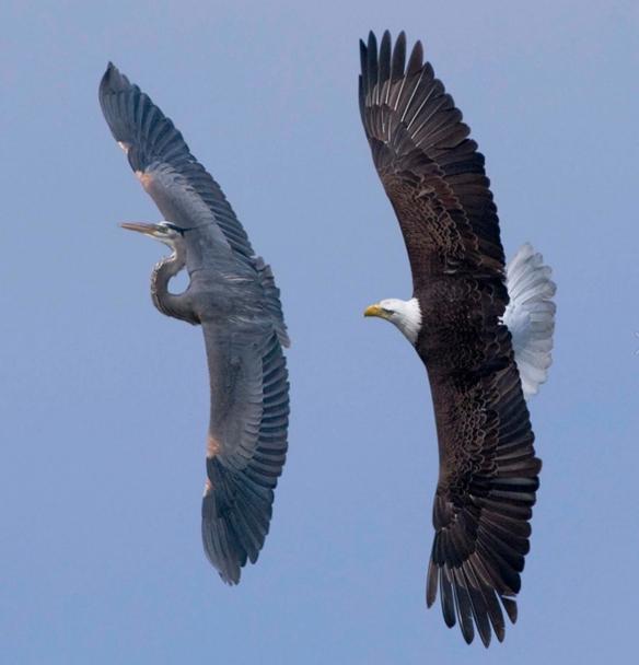 Heron___Eagle